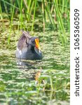 Common Moorhen Swims In The Pond