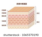 layer of human skin... | Shutterstock .eps vector #1065370190