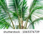 palm leaves branch  coconut... | Shutterstock . vector #1065376739