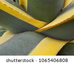 sharp pointed agave plant...   Shutterstock . vector #1065406808