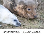 nov 15  cute fluffy newborn... | Shutterstock . vector #1065423266