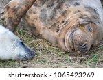 nov 15  cute fluffy newborn... | Shutterstock . vector #1065423269