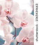 tender pink phalaenopsis orchid ... | Shutterstock . vector #1065434663