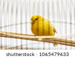 A yellow canary in his cage