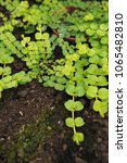 Small photo of Creeping jenny (Lysimachia nummularia) is a species of flowering plant in the family Primulaceae.