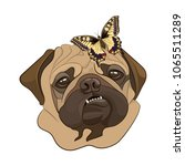 pug dog showing teeth. portrait ...   Shutterstock .eps vector #1065511289