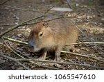 capybara animal in nature   Shutterstock . vector #1065547610