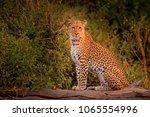 african leopard  panthera...   Shutterstock . vector #1065554996