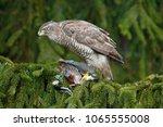 bird of prey goshawk kill jay... | Shutterstock . vector #1065555008