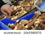 mushroom. morchella esculenta....   Shutterstock . vector #1065580070