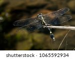 endangered dragonfly   chinese... | Shutterstock . vector #1065592934