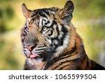 sumatran tiger  panthera tigris ... | Shutterstock . vector #1065599504