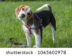 curious beagle puppy sniffing...   Shutterstock . vector #1065602978