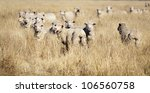 Sheep appear to be smiling as they flock together in long grass in rural Australia - stock photo