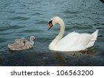 White Swan With Cygnets On Lake
