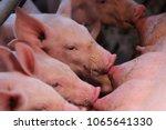 newborn piglets suckling | Shutterstock . vector #1065641330