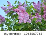 lilac blooming flowers branches.... | Shutterstock . vector #1065667763