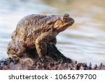 common toad adopts a defensive... | Shutterstock . vector #1065679700