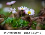 Daisy Flower On Field With...