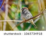 true sparrow perching on the... | Shutterstock . vector #1065734918