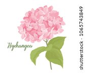 hydrangea flower illustration... | Shutterstock .eps vector #1065743849