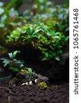 Small photo of Pure black line caridina shrimp eating herbal stick food with bucelaphandra bush on the background