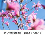 pink magnolia in the sun into a ... | Shutterstock . vector #1065772646