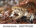 bufo bufo  common toad  | Shutterstock . vector #1065794180