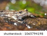 bufo bufo  common toad  | Shutterstock . vector #1065794198
