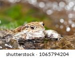 bufo bufo  common toad  | Shutterstock . vector #1065794204