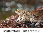 bufo bufo  common toad  | Shutterstock . vector #1065794210