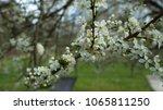 flowering of apple tree flowers. | Shutterstock . vector #1065811250