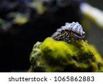 Blue Leg Hermit Crab Posing On...