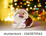 a dog of the pomeranian dog in... | Shutterstock . vector #1065870563