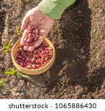a man's hand planting onions ... | Shutterstock . vector #1065886430