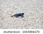 Small photo of Turtle hatchling going to the ocean on a sandy beach in Queensland Australia
