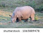Small photo of Rhinoceros in Manas National Park, Assam, India