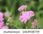 Ladybug Landing Pink Flower