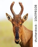 Small photo of Red hartebeest portrait - Alcelaphus caama - Addo National Park - South Africa