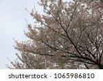 white cherry blossom in korea | Shutterstock . vector #1065986810