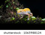 the leopard gecko in action | Shutterstock . vector #1065988124