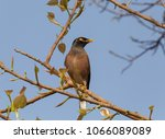 indian mynah sitting on branch... | Shutterstock . vector #1066089089