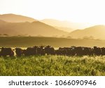 large livestock of cows in a... | Shutterstock . vector #1066090946
