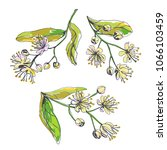 vector set of linden blossom in ...