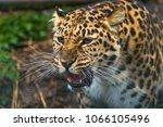 amur leopard  panthera pardus... | Shutterstock . vector #1066105496