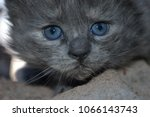 Stock photo cute kitten with blue eyes 1066143743