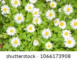 white flowers  daisy  daisies... | Shutterstock . vector #1066173908