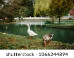 white and grey goose came to... | Shutterstock . vector #1066244894