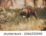shy puppy walking on green grass | Shutterstock . vector #1066252040