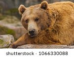 close up of a brown bear  ursus ... | Shutterstock . vector #1066330088